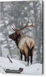 Winter Bull Elk Acrylic Print