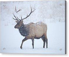 Winter Bull Acrylic Print by Mike  Dawson