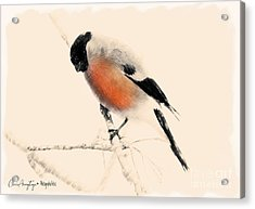 Winter Bullfinch Acrylic Print