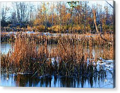 Winter Bullrushes At Reifel Acrylic Print