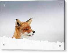 Winter Came - Red Fox In The Snow Acrylic Print