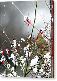 Acrylic Print featuring the photograph Winter Cardinal by Gary Wightman