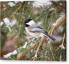 Winter Chickadee Acrylic Print