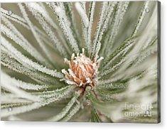 Acrylic Print featuring the photograph Winter Evergreen by Ana V Ramirez