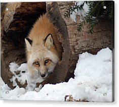 Winter Fox Acrylic Print by Richard Bryce and Family