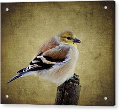 Winter Goldfinch Acrylic Print