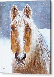 Winter Horse Portrait Acrylic Print by Debi Bishop
