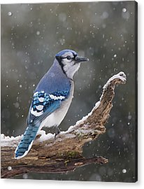 Acrylic Print featuring the photograph Winter Jay by Mircea Costina Photography