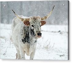 Winter Longhorn Acrylic Print