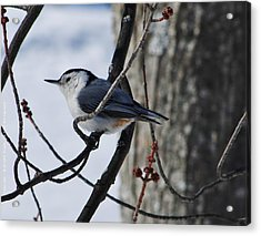 Acrylic Print featuring the photograph Winter Nut Hatch by Al Fritz