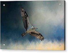 Winter Osprey Acrylic Print by Jai Johnson