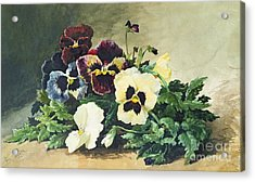 Winter Pansies Acrylic Print by Louis Bombled