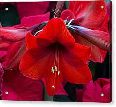 Acrylic Print featuring the photograph Winter Red by Robert Pilkington