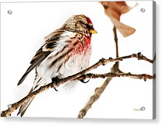Winter Redpoll Acrylic Print by Christina Rollo