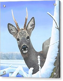 Winter Roebuck Acrylic Print by Clive Meredith