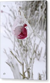 Acrylic Print featuring the photograph Winter Rose by Arthur Fix