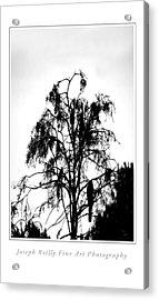 Winter Sky Wood Storks Acrylic Print by Joseph Reilly