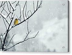 Winter Snow With A Touch Of Goldfinch For Color Acrylic Print