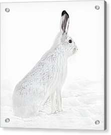 Acrylic Print featuring the photograph  Winter Snowshoe Hare by Jennie Marie Schell