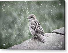 Winter Sparrow Acrylic Print