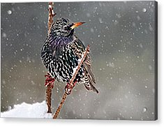 Winter Starling 2 Acrylic Print