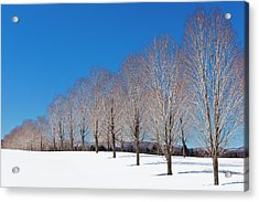 Winter Trees Acrylic Print by Alan L Graham