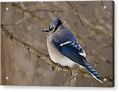 Winter Visitor Acrylic Print by Michael Cummings