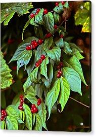 Winterberry Acrylic Print by Michael Putnam