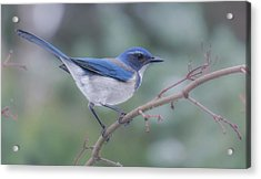 Acrylic Print featuring the photograph Wintering Scrub Jay by Angie Vogel