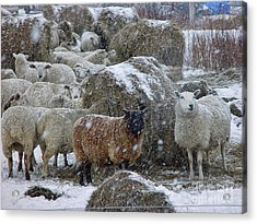 Wintering Sheep Acrylic Print