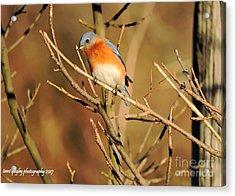 Winter's Bluebird  Acrylic Print