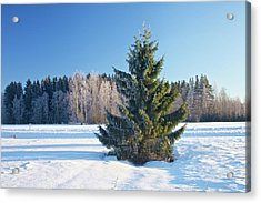 Wintry Fir Tree Acrylic Print