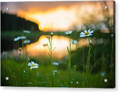 Wisconsin Daisies At Sunset Acrylic Print
