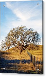 Wise Old Tree Acrylic Print by Aron Kearney