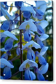 Wisteria - Blue Hooded Ladies Acrylic Print