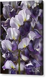 Wisteria In Spring Acrylic Print