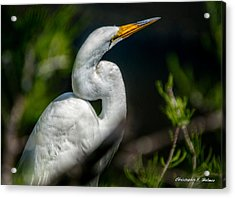 Acrylic Print featuring the photograph White Egret 2 by Christopher Holmes