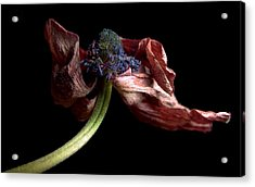 Withering Anemone Acrylic Print by Elsa Marie Santoro