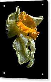 Withering Daffodil Acrylic Print by Elsa Marie Santoro