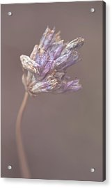 Acrylic Print featuring the photograph Withering Purplehead by Alexander Kunz