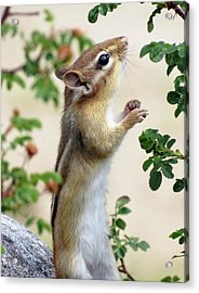 Within Reach - Chipmunk Acrylic Print