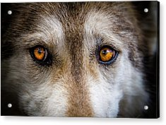 Acrylic Print featuring the photograph Wolf Eyes by Teri Virbickis