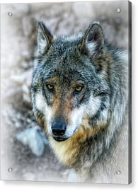 Wolf Gaze Acrylic Print by Elaine Malott