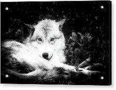 Wolf Grin Acrylic Print