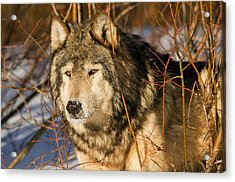 Wolf In Brush Acrylic Print