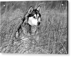 Wolf In The Grass Acrylic Print by Kyle Gray