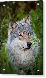 Wolf In The Grass Acrylic Print