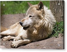 Acrylic Print featuring the photograph Wolf by JT Lewis