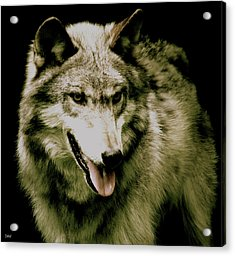 Acrylic Print featuring the mixed media Wolf Of The Night by Debra     Vatalaro