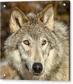 Wolf Portrait Acrylic Print